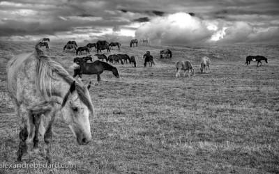 Chevaux sauvage de rodeo