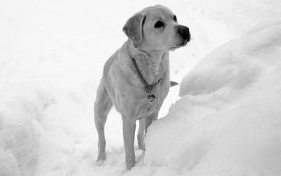 Labrador dans la neige