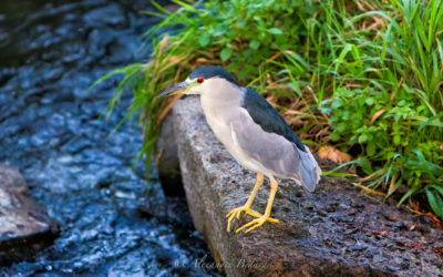 Bihoreau gris, Black-crowned Night-Heron, Nycticorax nycticorax