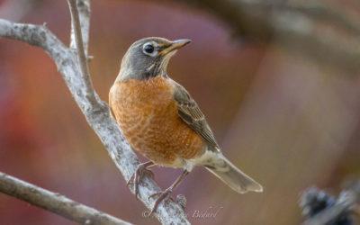 Merle d'Amérique, American Robin, Turdus migratorius