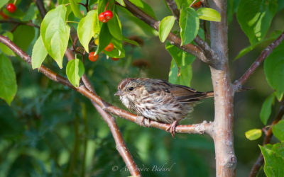 Bruant chanteur, Song Sparrow, Melospiza melodia