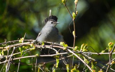 Moqueur chat, Grey Catbird, Dumetella carolinensis