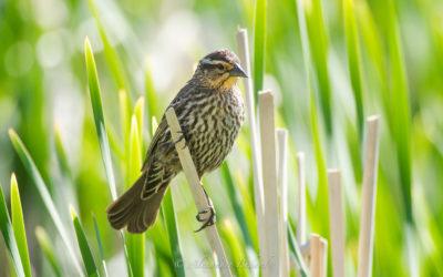 Carouge à épaulettes,  Red-winged Blackbird, Agelaius phoeniceus