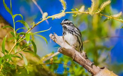 Paruline noir et blanc, Black-and-white Warbler,  Mniotilta varia