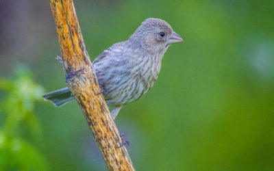 Roselin familier femelle, House Finch, Carpodacus mexicanus