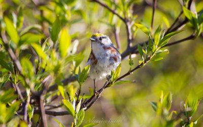 Paruline à flancs marron,  Chestnut-sided Warbler, Dendroica pensylvanica
