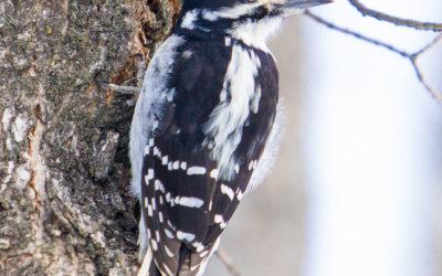 Pic Chevelu, Hairy Woodpecker, Picoides villosus