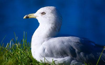 Goéland à bec cerclé, Ring-billed Gull, Larus delawarensis
