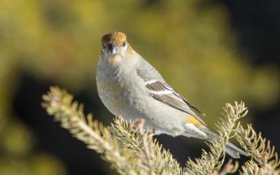 Durbec des sapins, Pine Grosbeak, Pinicola enucleator