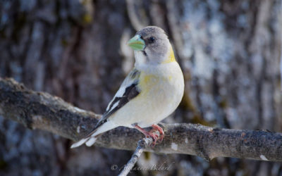 Gros-bec errant femelle, Evening Grosbeak, Coccothraustes vespertinus
