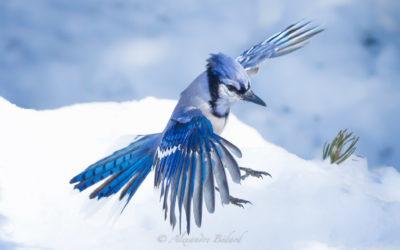 Geai Bleu, Blue Jay, Cyanocitta cristata