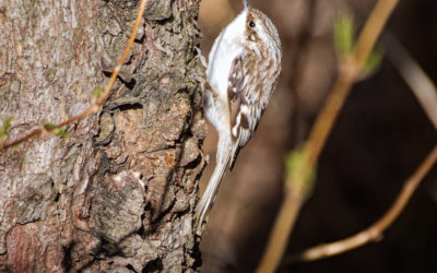 Grimpereau brun, Brown Creeper, Certhia americana